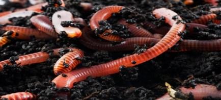 earthworms1
