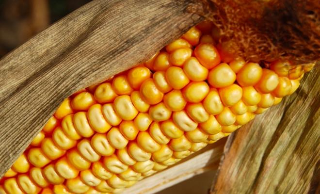 corn_750