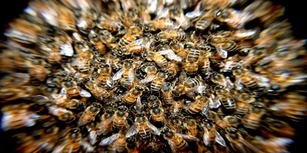 bees-in-swarm