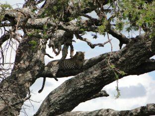 Jaguar in the tree