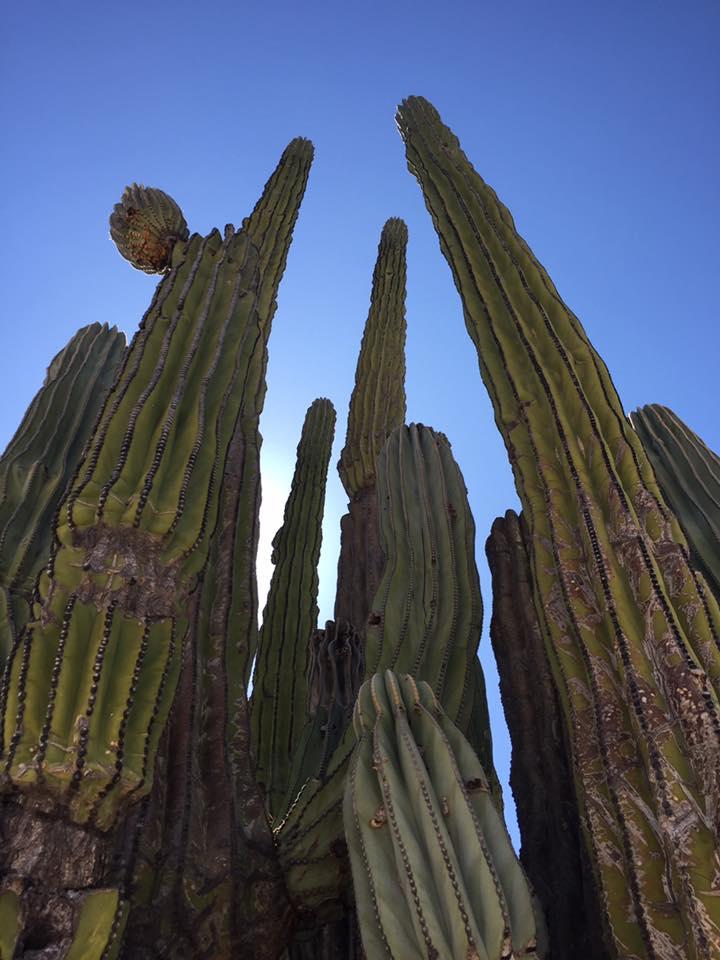 Beautiful cacti in Baja.