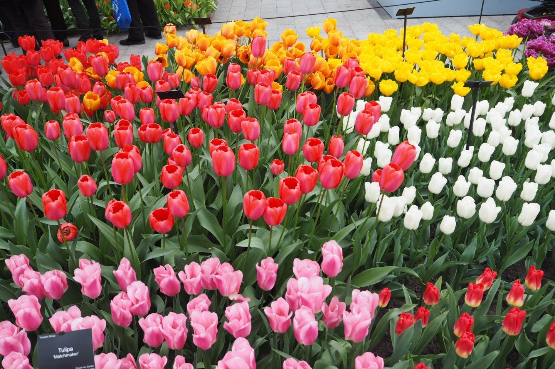 Bright and beautiful tulips Keukenhof
