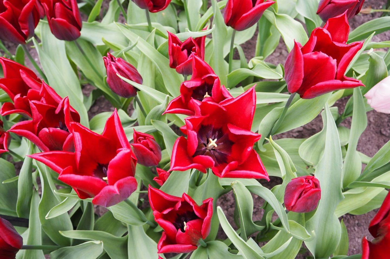 Lasting Love Tulips Keukenhof Tulip Gardens