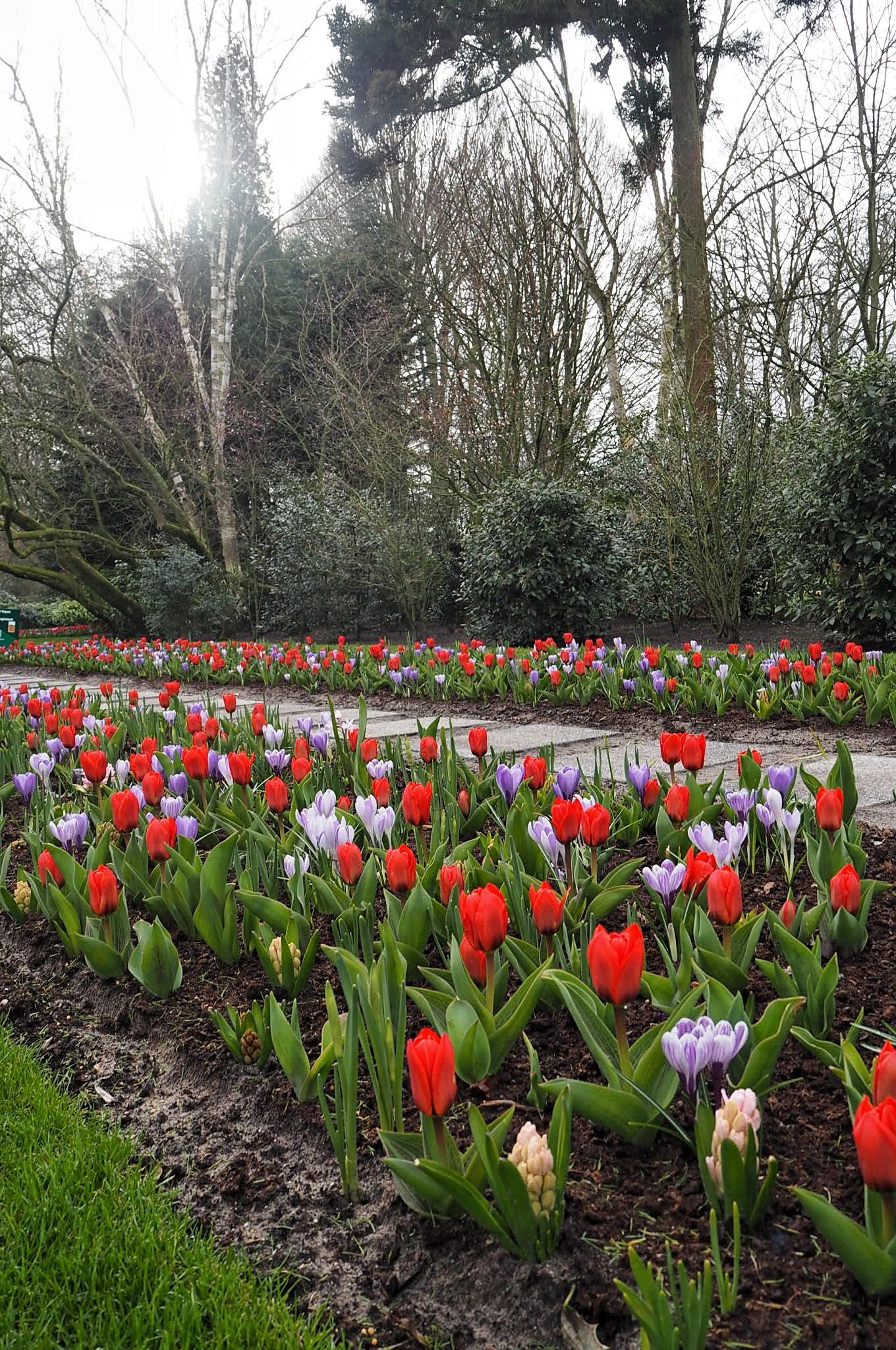 Red and violet tulips Keukenhof