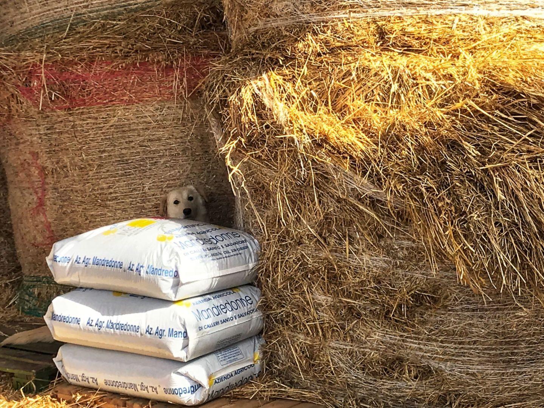 dog hiding among hay bales