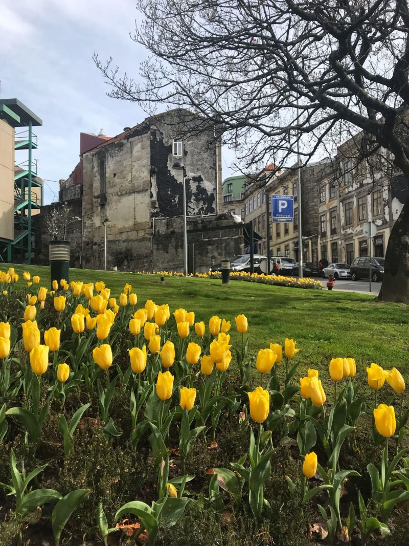 Spring tulips in bloom in Porto