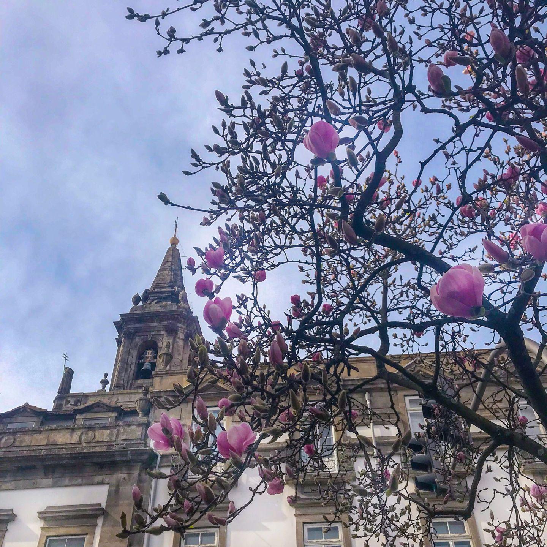 Spring tulips in bloom in Porto