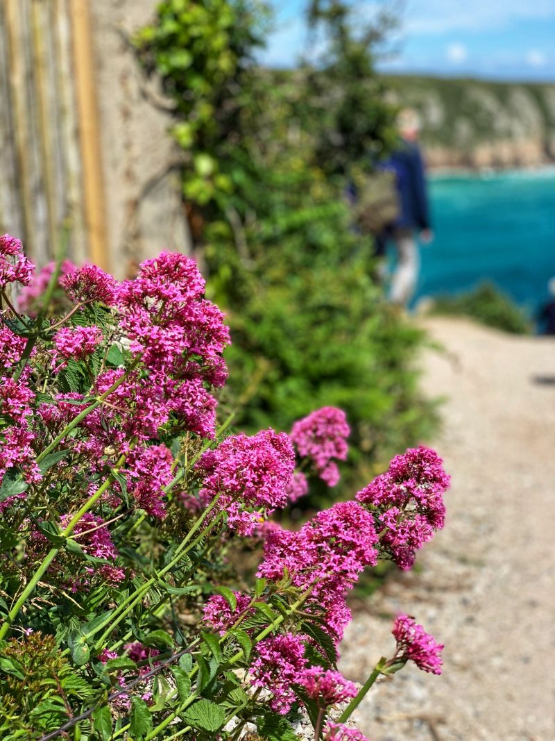 Pink-flowers-on-Minack-coastal-path-Cornwall