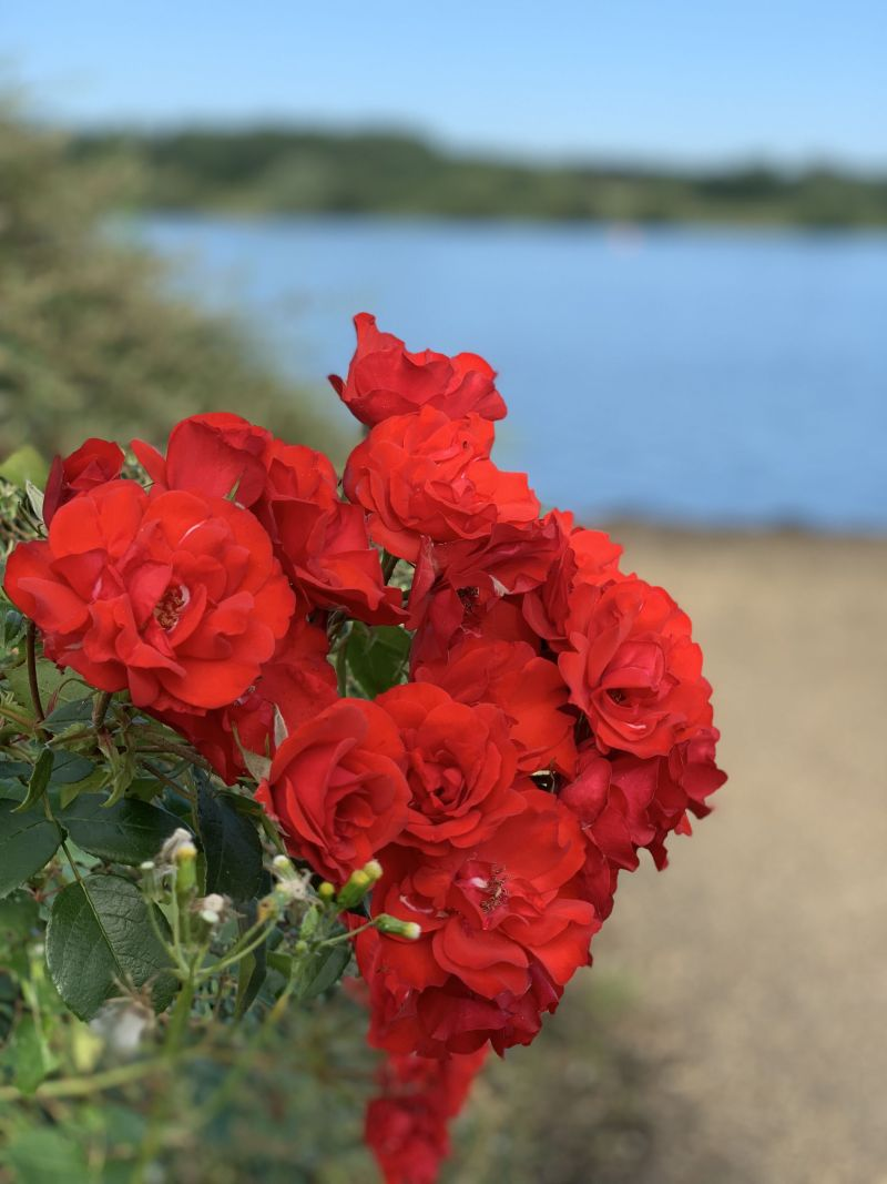 Red-flowers-british-countryside
