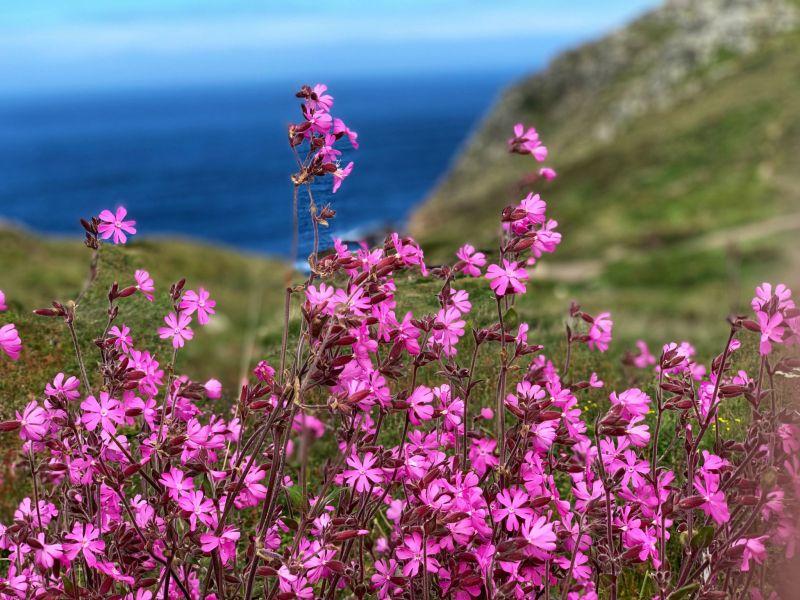 Cornwalls-colourful-coastal-flowers