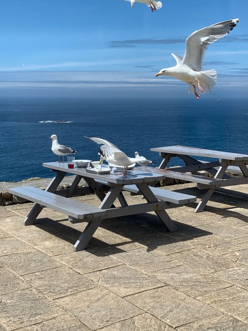 Scavenging-seagulls-Lands-End-Cornwall