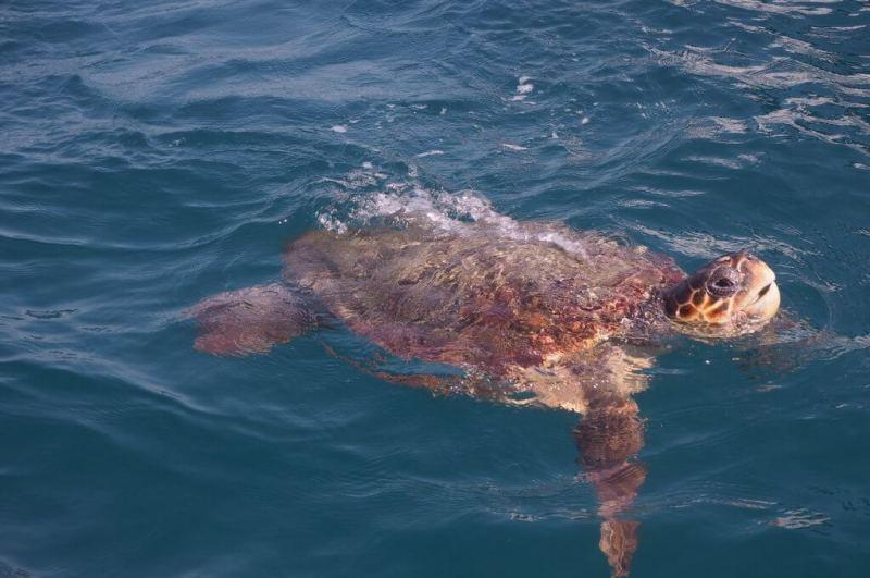 loggerhead_turtle_coming_up_for_air_in_laganas_bay_zante_zakynthos_greek_island
