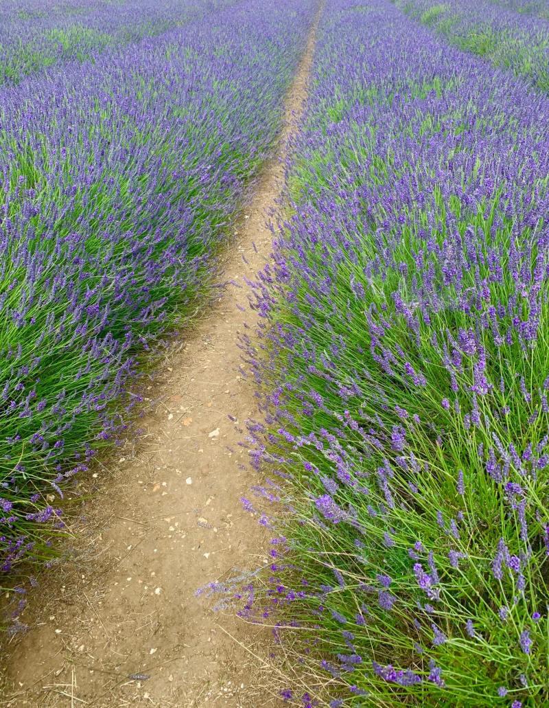 lavender_fields_hitchin_hertfordshire