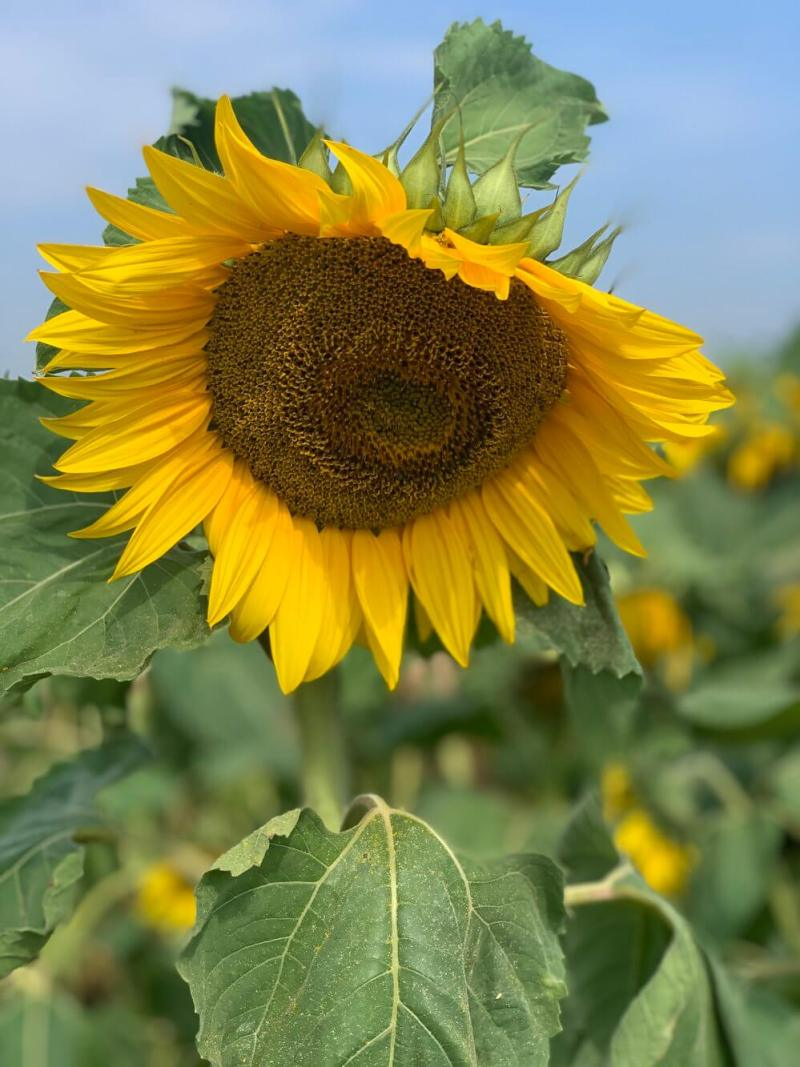 blooming beautiful sunflower in milton keynes the patch mk sunflower field