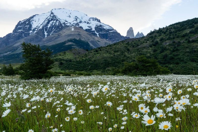Daisy Flower Field at Torres del Paine National Park Chile