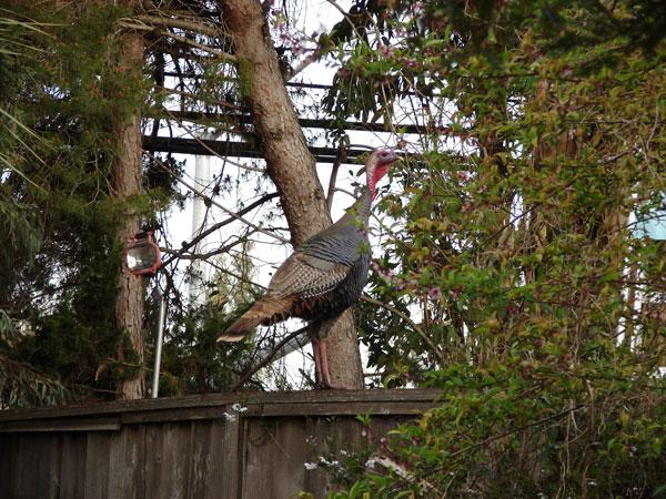 A (wild?) turkey on my back fence