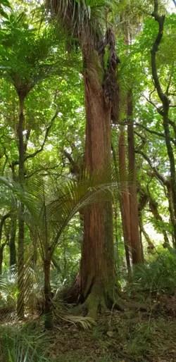 Nzherald.co.nz tuesday, 07 september 2021 Totara Tangihua Northland Native Trees