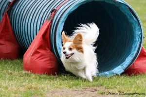 Lili, female Papillon, during an agility run