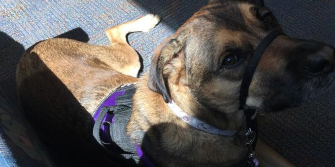 Finn the service dog at lab clinic