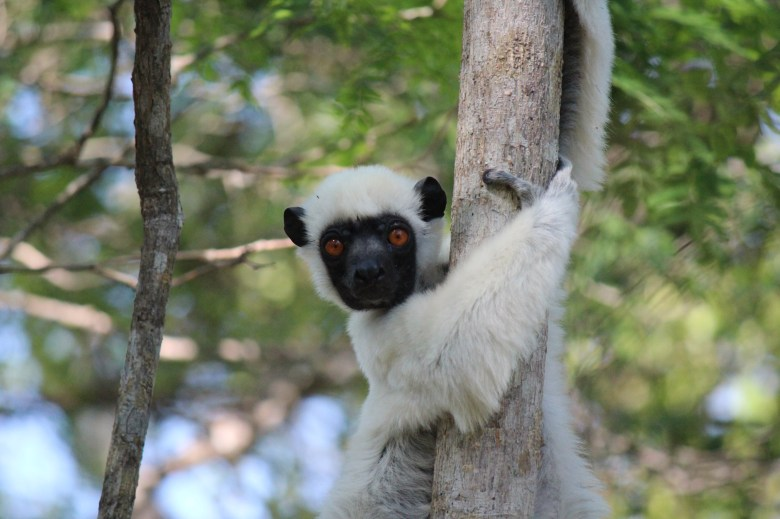 Fuzzy little lemurs are just one of a plethora of amazing endemic species on the island.