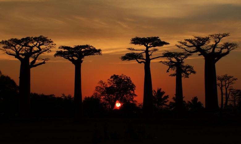 Allee des Baobab