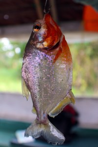 A pretty, purple-sparkled piranha