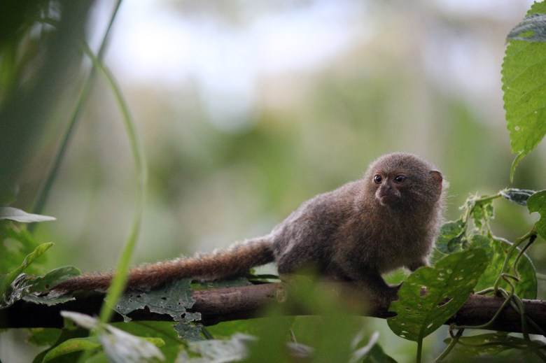 How cute is this adorable little pygmy marmoset? The smallest monkey in the world. And fast. It ran and jumped around the trees faster than a squirrel.