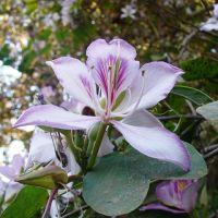 Orchid Tree: Kachnar