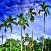 Beautiful Betel Nut Palm Tree, Areca Catechu
