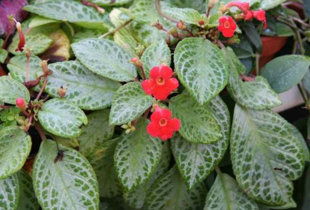 Colorful foliage plant for indoor outdoor gardens episcia the lovely plants - Indoor colorful plants ...