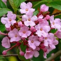 Fragrant and Winter Flowering Shrub: Luculia gratissima