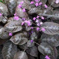 Pseuderanthemum alatum, the Chocolate Plant