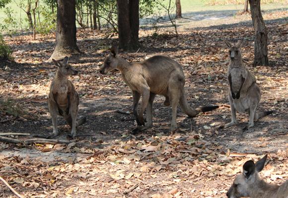 Familia de canguros. El macho es considerablemente más grande que las hembras