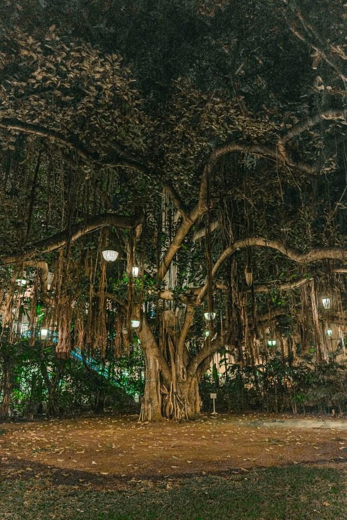 Banyan Tree at the Royal Hawaiian Hotel
