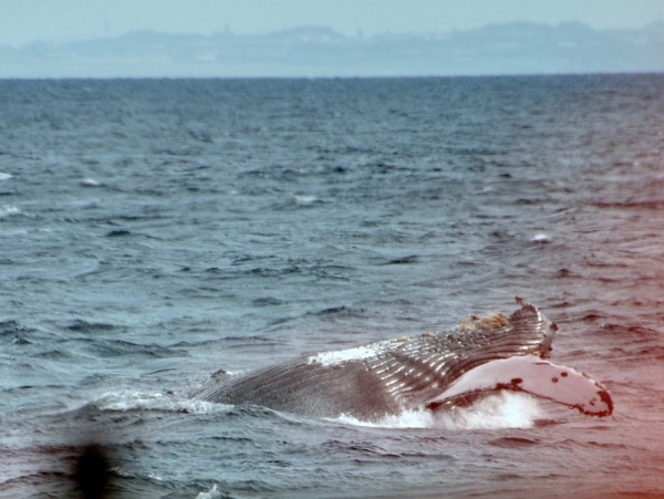 humpback-whale-japan_9495