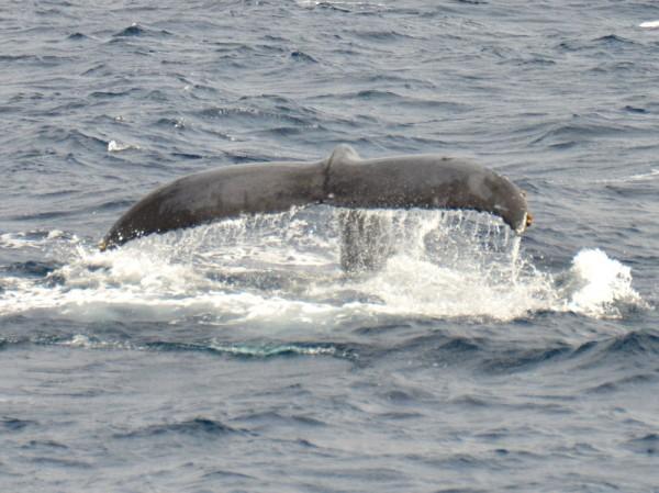 humpback-whale-japan_9711