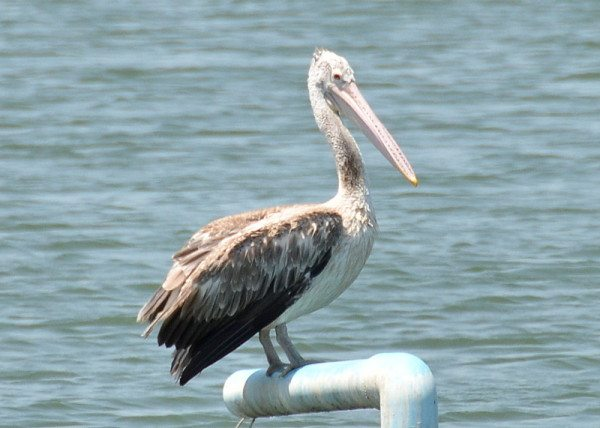 spot-billed-pelican