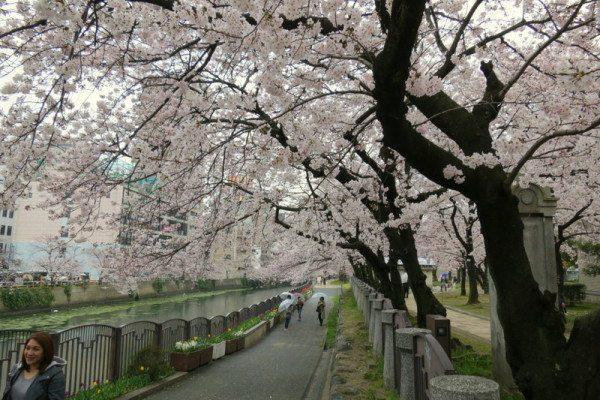 sakura-fukuoka_2606