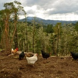 Days on the Homestead – The Value of Chicken Manure.