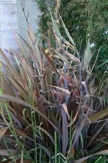 Use New Zealand Flax as a dye, hand dye silk using flax