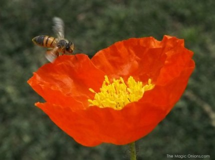 Bee pollinating a poppy : www.theMagicOnions
