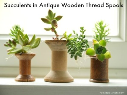Succulents Planted in Antique Wood Thread Spools : The Magic Onions.com