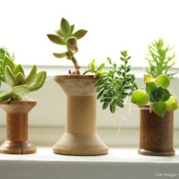 Succulents planted in Antique Wooden Thread Spools