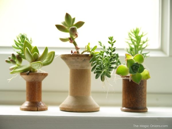 Succulents planted in antique wooden thread spools : The Magic Onions.com