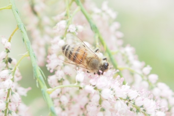 Honey Bees : The Magic Onions Blog