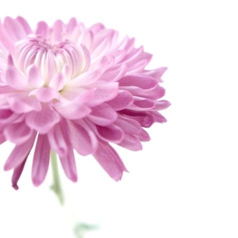 beautififul photo of a pink dalia flower