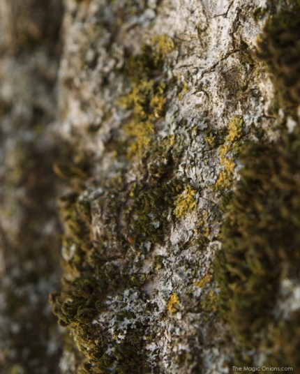 Photo of moss and lichen on bark of a tree