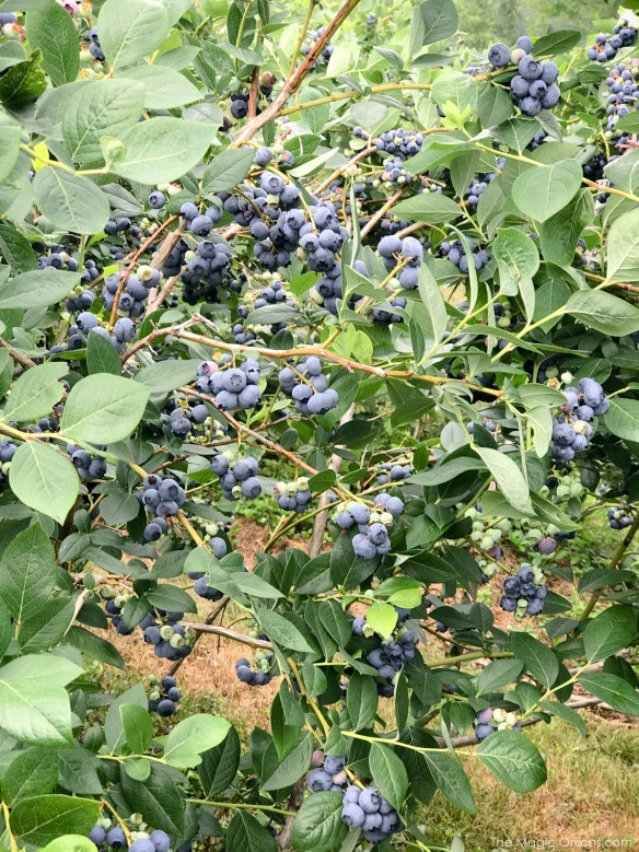 Picking Blueberries at Monadnock Berries, New Hampshire 4