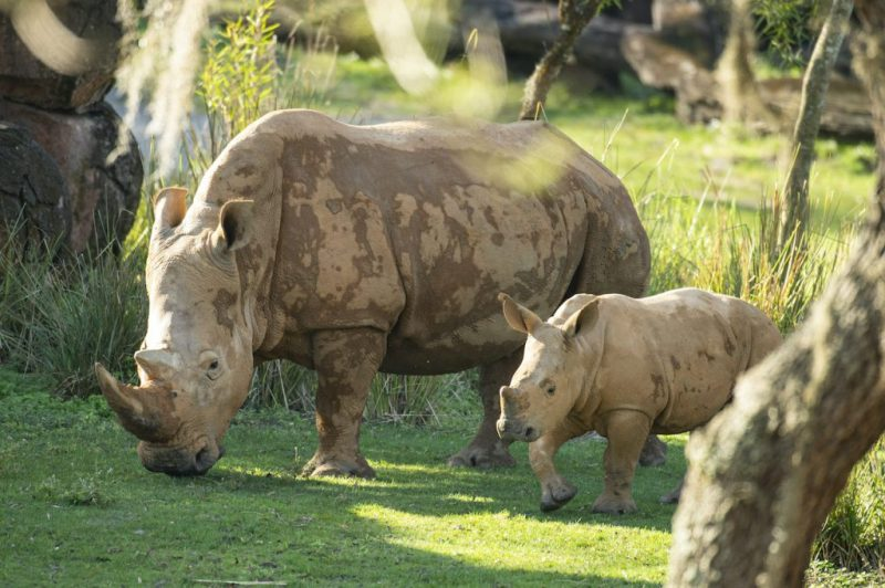 Ranger, five-month-old white rhino calf, and his mother at Disney's Animal Kingdom