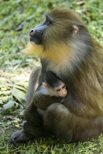 A female baby mandrill, Ivy, seen here bonding with first-time mom Hazel, was born April 10, 2021, at Disney's Animal Kingdom
